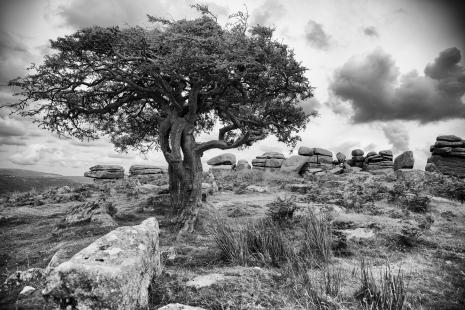 Lone tree on Dartmoor