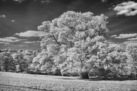 Oaks in infrared