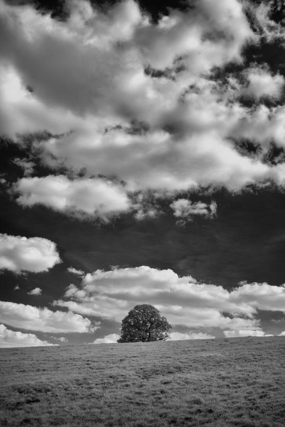 Lone tree at Nymans