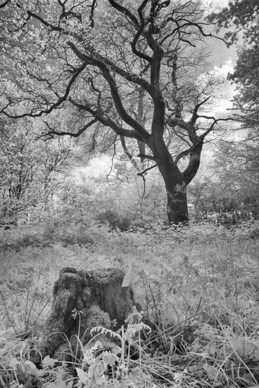 Tree and stump, Nymans Gardens