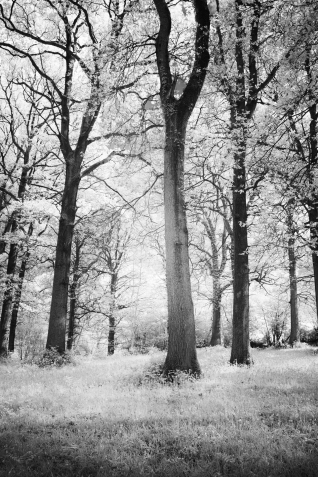 Bluebell woods in infrared