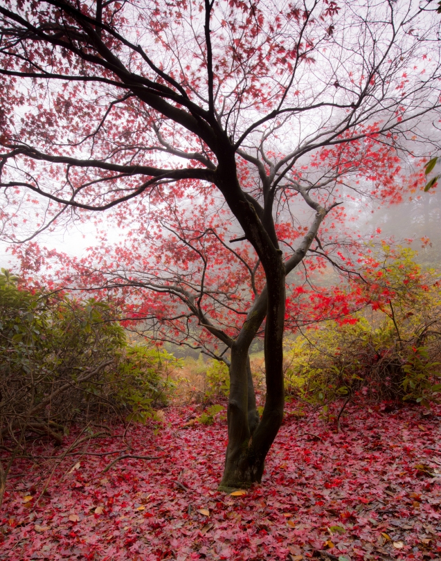 Red leaves in the mist