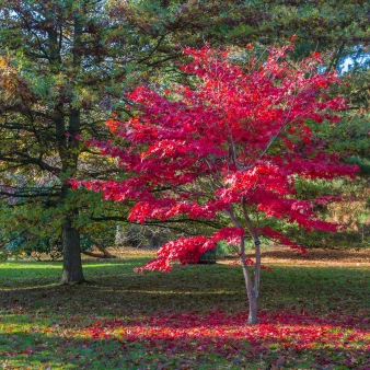Acer in Sheffield Park
